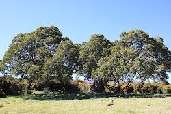 Koa Trees on Mauna Kea
