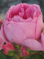 Rosa Prairie Joy