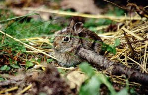 Baby Eastern Cottentail Rabbit