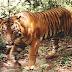 Ανθρωποφάγος τίγρης πιάσθηκε από κυνηγούς στην Ινδονησία