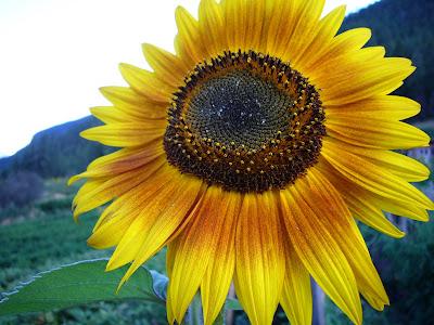 Sunflower @ Sapo Bravo