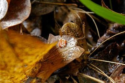 cicada eggs - photo #36