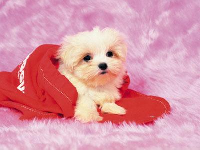 cute puppy wallpaper. cute puppies wallpaper. yorkie