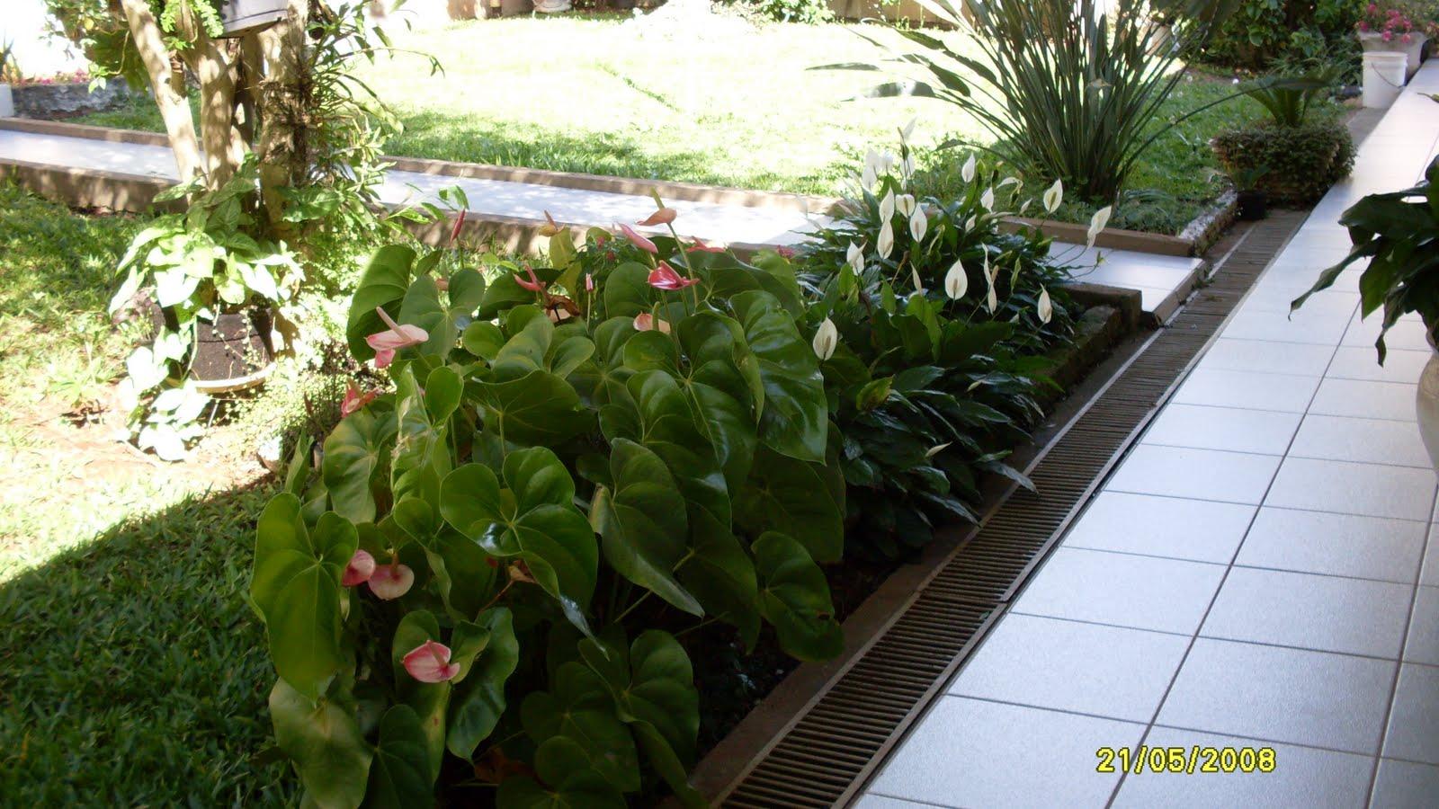 flores jardim sombra:Canteiro de Antúrios e Lírios da Paz , está pegando sol,