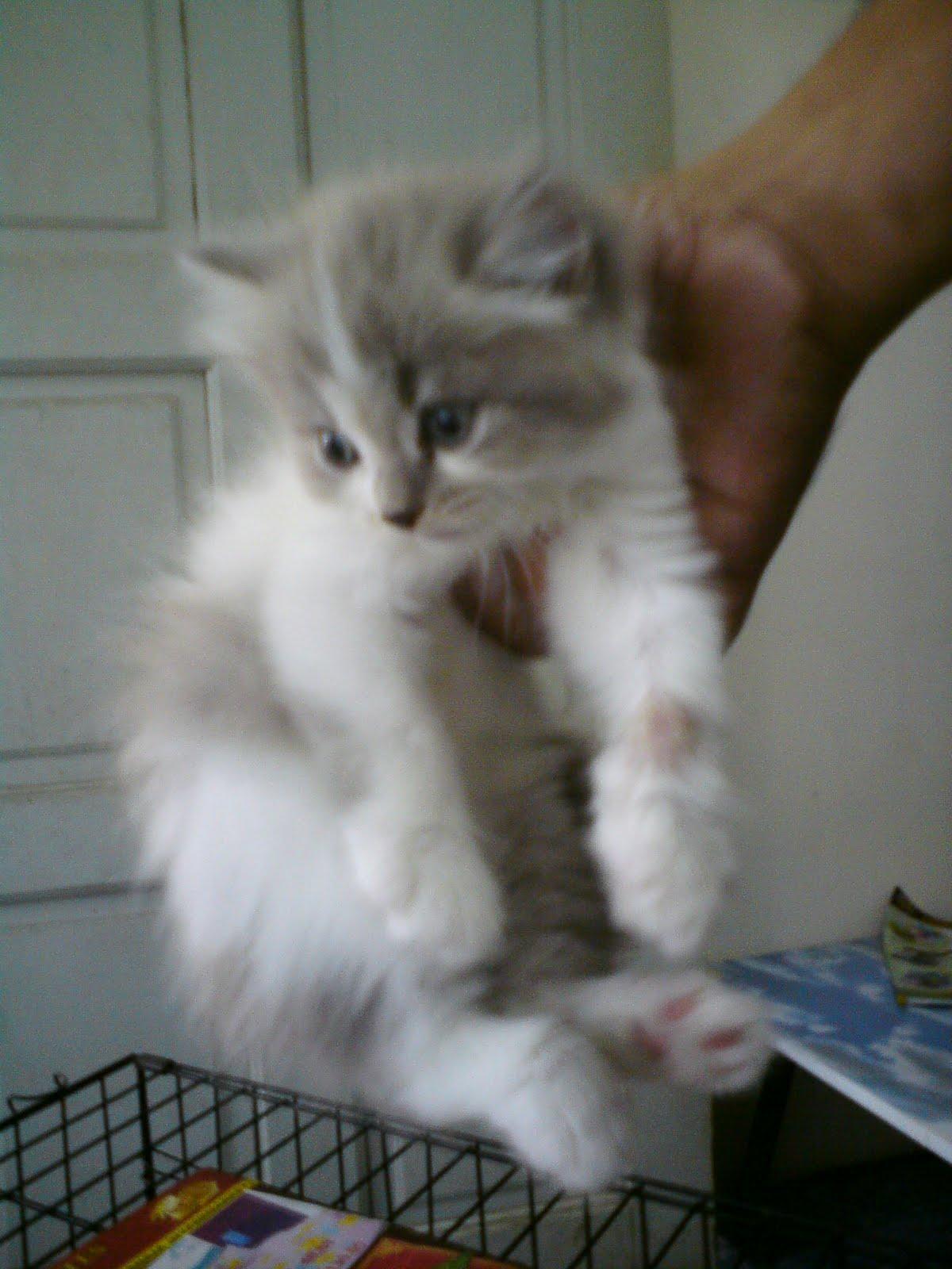 Harga Gambar Kucing Parsi Pahlawan Maokil Anak Kucing