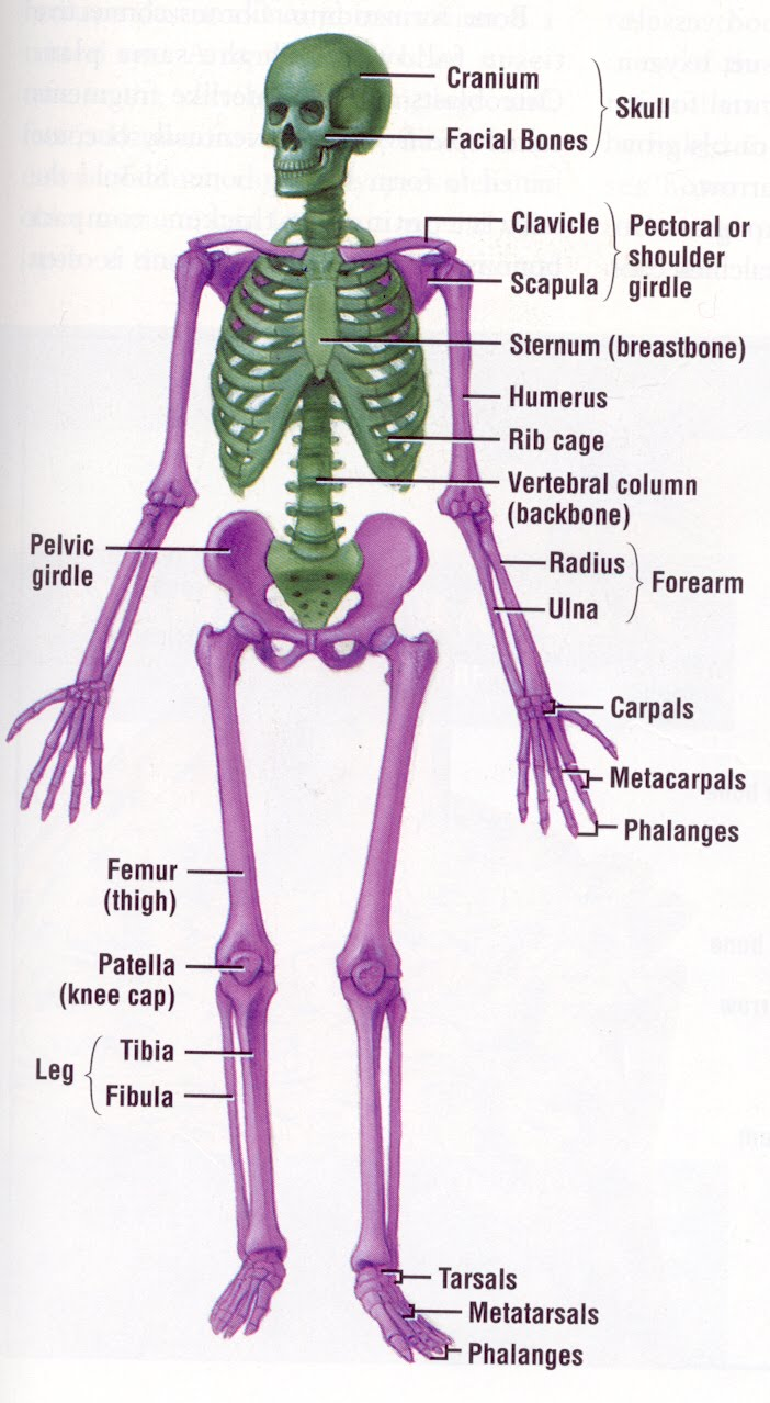 Bones Muscles Human Anatomy Internal Organs Images