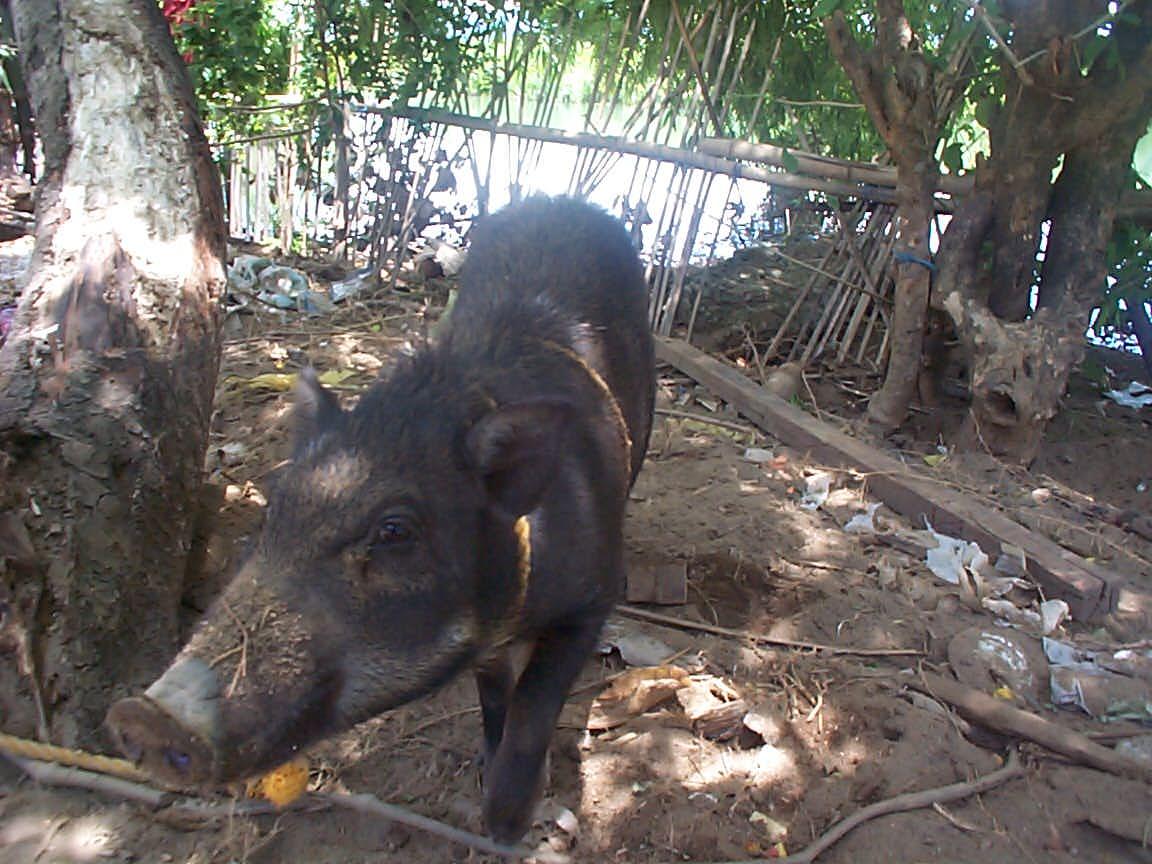 baboy damo or wild pig ito ay maliit kaysa sa karaniwang alagang baboy