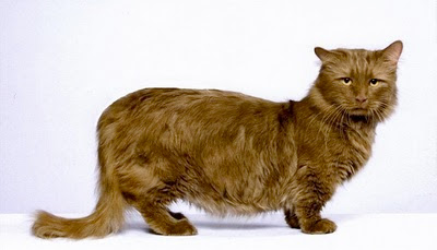 pictures of Dwarf cats