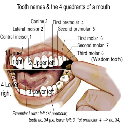 Name of Teeth Diagram http://pure-dental.blogspot.com/2011_12_01_archive.html