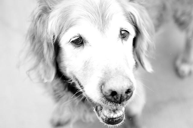 b%26w+golden Shelter Pups
