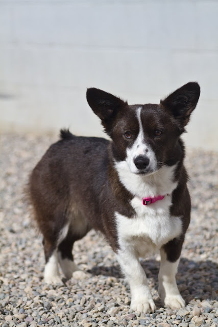 >Luna {Corgi Cross} - Adopted!
