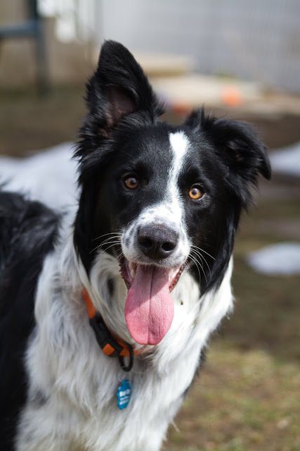 >Jace {Border Collie} - ADOPTED