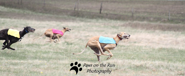 Greyhounds Lure Coursing – Foothills Gazehound Club