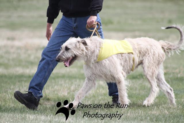 Wolfhound 4 Irish Wolfhound – Lure Coursing
