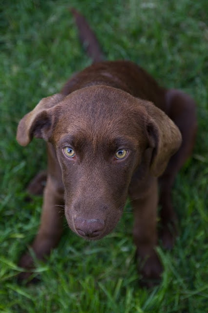 >Penny {Chocolate Lab} - ADOPTED