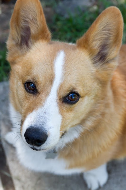 >Crawford {Pembroke Welsh Corgi} - ADOPTED