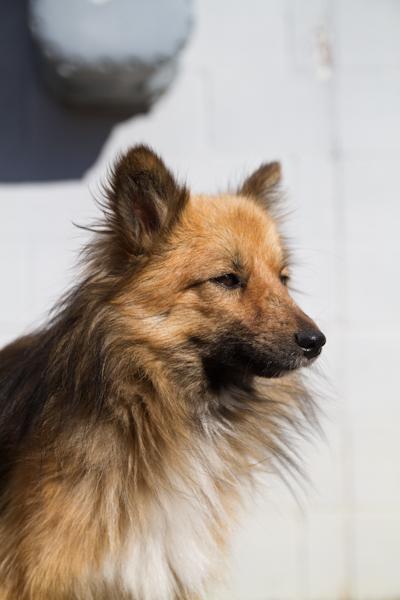 Sheltie 3 >Billy {Sheltie/Pomeranian Cross}   Adoption Pending