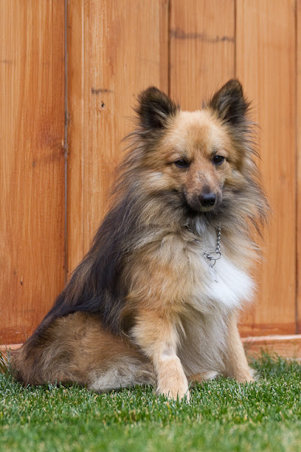 Billy 6 >Billy {Shetland Sheepdog/Pomeranian Cross}   Adopted