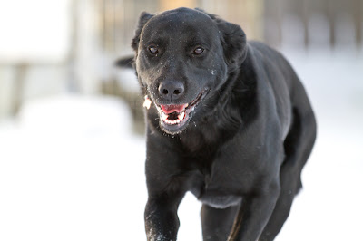 >Charlie {Black Lab Cross} - ADOPTED