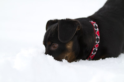 Chip 15 >Chip {Dachshund Cross}   ADOPTED
