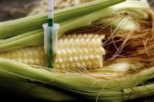 La France est-elle vraiment opposée aux OGM ?