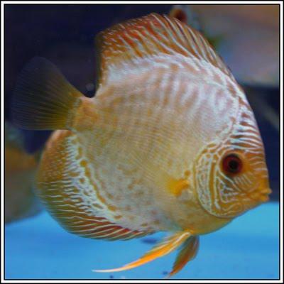 The animal tama os colores y diferesntes especies de peces for Especies de peces