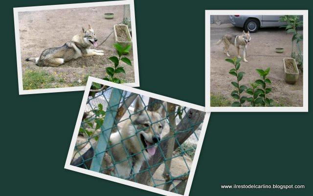 Cane+lupo+cecoslovacco+adozioni