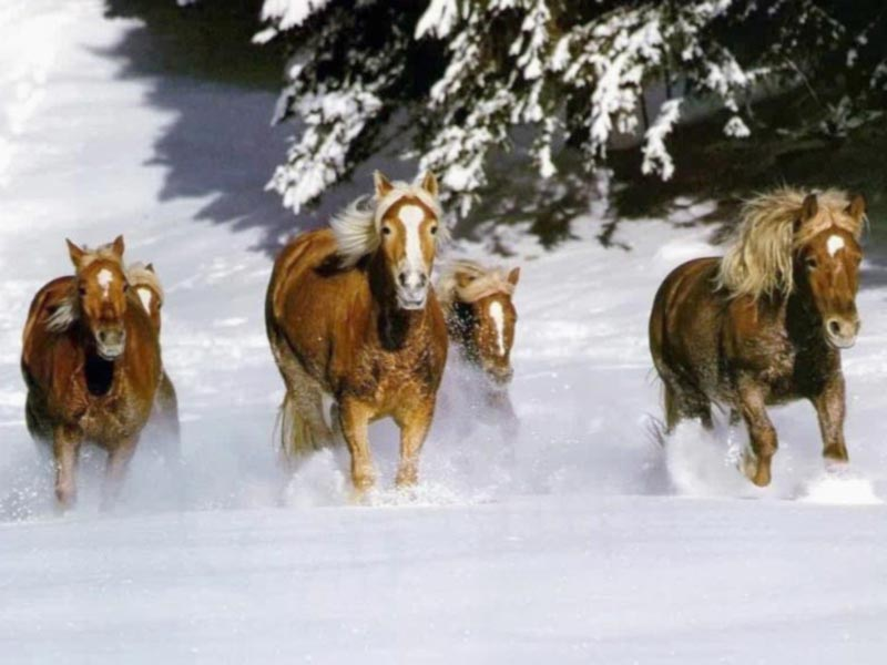 Wild Horses Running Free Wallpaper