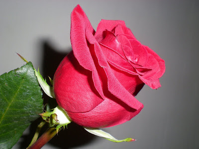59. Gönülçelen -Inima furata - Heart Stealer - General Discussions - Comentarii - Pagina 39 Trandafir+rosu+010