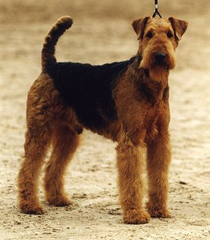 Airedale Puppies on Airedale Terrier Puppies   Free Animal Wallpapers
