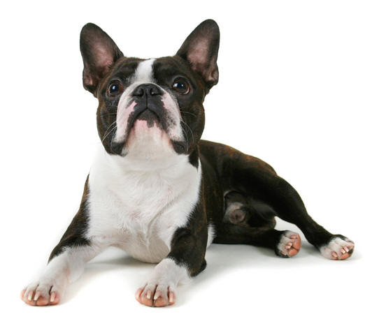 boston terrier funny puppy free animal wallpapers
