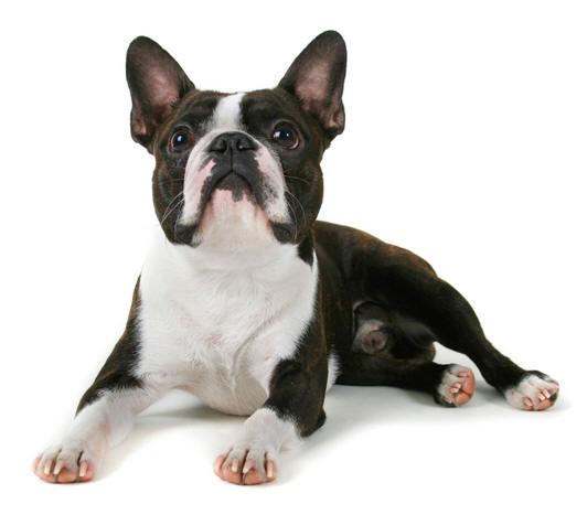 B Is For Boston Terrier Boston Terrier Funny P...