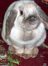 Pupumme Pilvi - Our bunny Pilvi