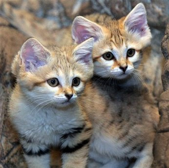 Pets: Two baby Arabian sand cat kittens.