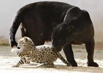 Animals: black Jaguar.