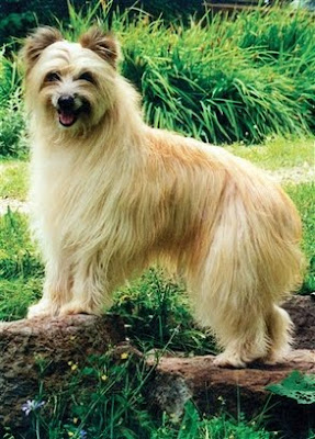Pet: In this undated photo provided by the Westminster Kennel Club, a Pyrenean Shepherd with a rough coat is shown.