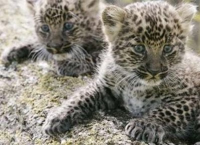 leopard cubs: animals and pets