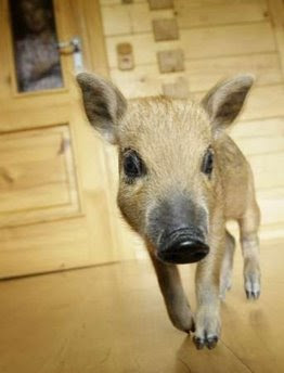animals: mangalitza piglet
