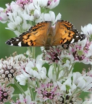 animals: Vanessa cardui butterfly