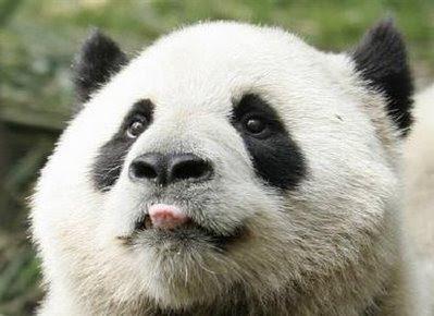 Animals; panda.