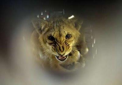 Animals: lion cub.