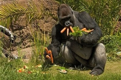 pets: gorilla.