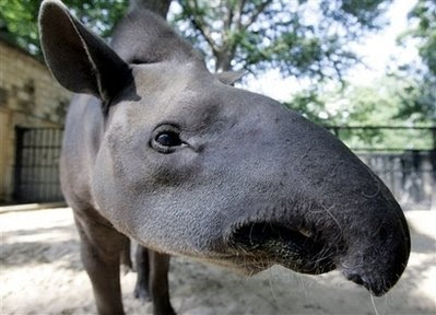 Animals: tapir.