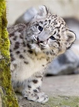 Animals: Indeever the young Snowleopard cub.
