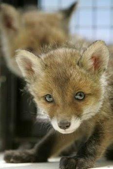 Animals: fox cubs.