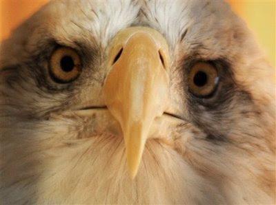 Animal: bald eagle.
