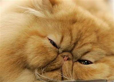 Pet: red persian cat.