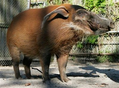 Pet: red river hog.