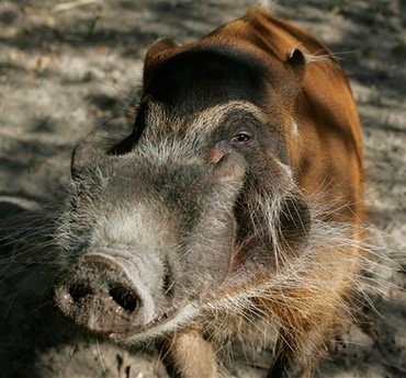 animal: red river hog.