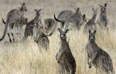 Australia's kangaroos.